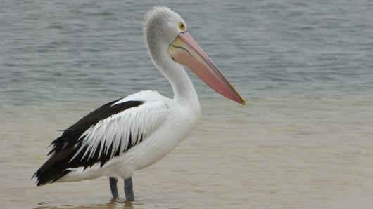 Pelikan bei Venus Bay