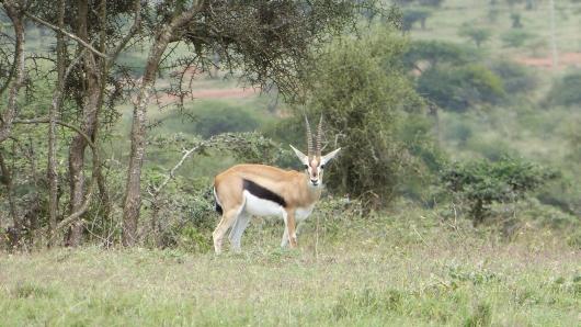 erste Antilope
