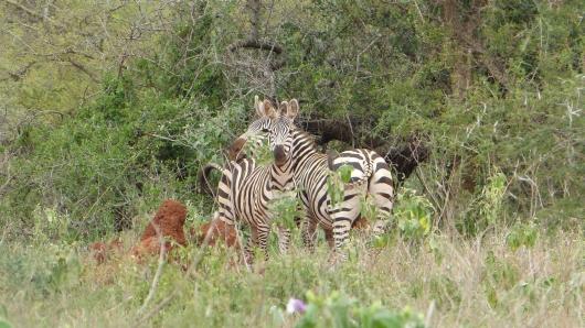 erste Zebras