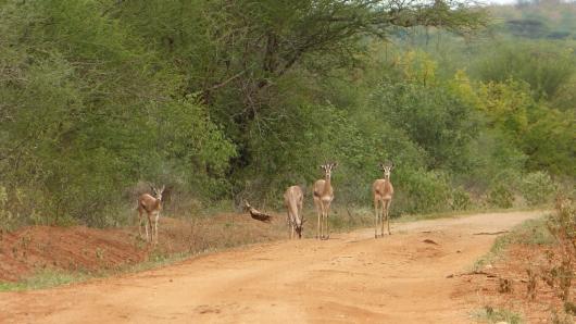 Antilopen auf dem Weg