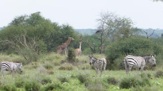 Zebras und Giraffen
