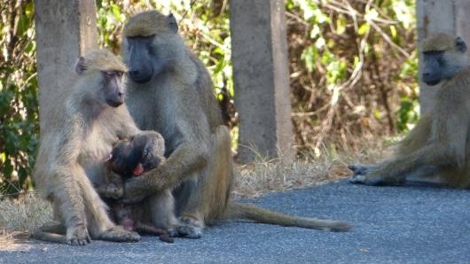 Pavian-Familie