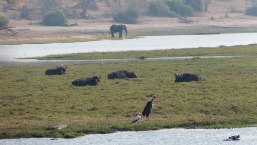 Elefant, Büffel, Hippo, Krokodil und große Vögel