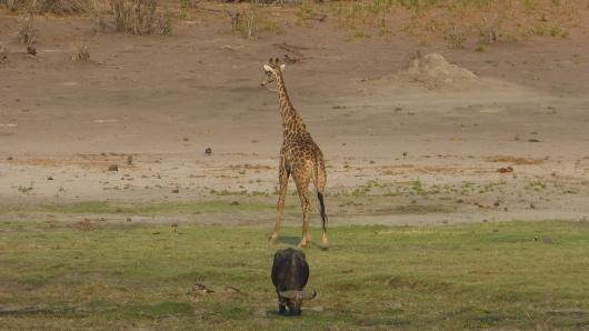 Giraffe und Büffel