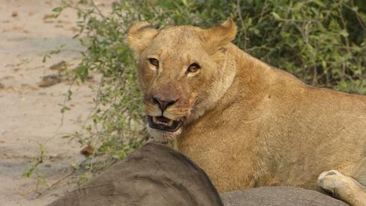 Löwen beim Essen