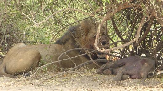 Der männliche Löwe beansprucht das Elefantenbaby für sich