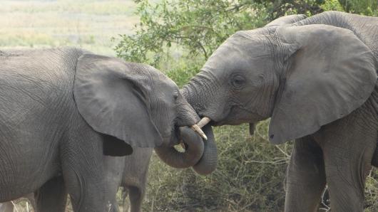 Elefanten begrüßen sich